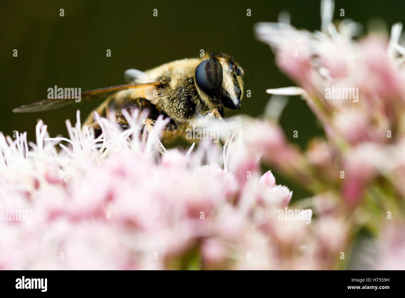 Honey bee collecting pollen on a pink flower - Stock Image