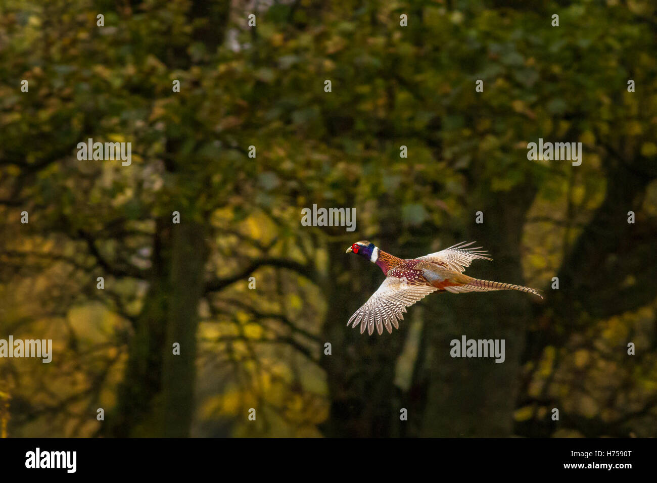 Pheasant in flight by a Yorkshire woodland, Burley-in-Wharfedale, Yorkshire, UK - Stock Image