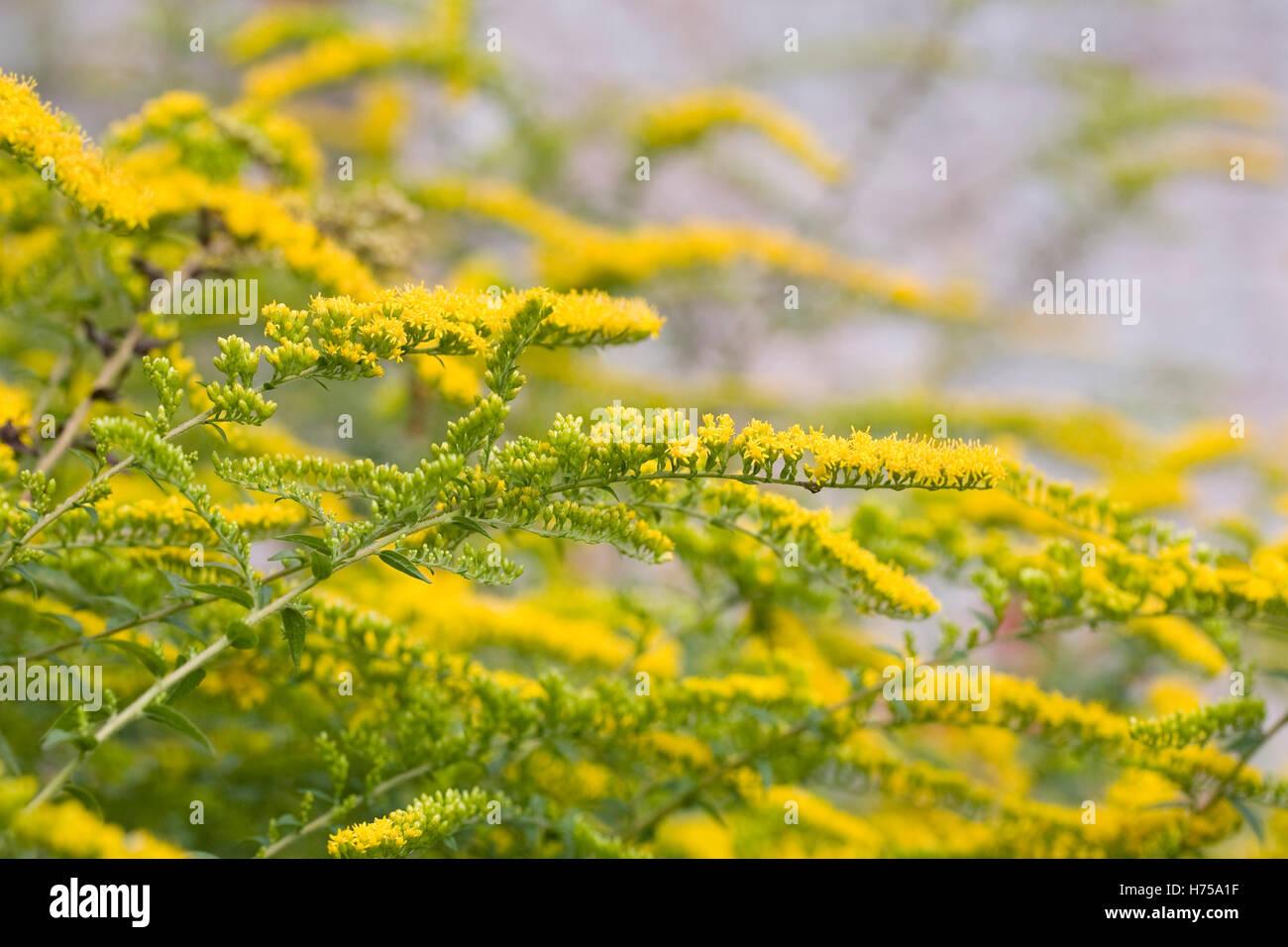 Solidago 'Golden Fleece' flowers. - Stock Image