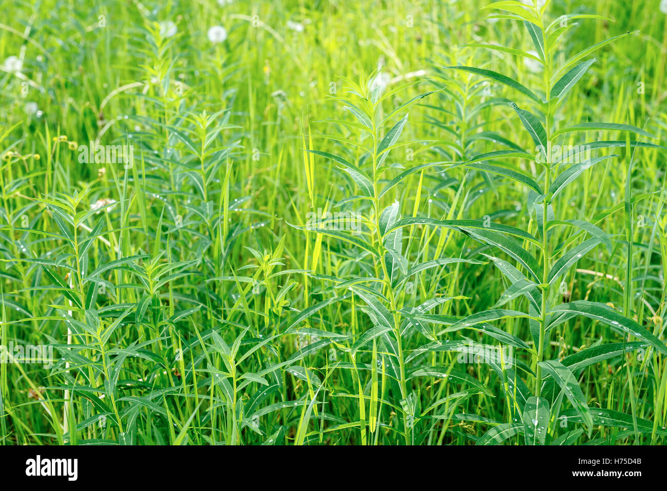 Flowerless fireweed (Chamerion angustifolium) in a grassy meadow near Dawson City, Yukon, Canada - Stock Image