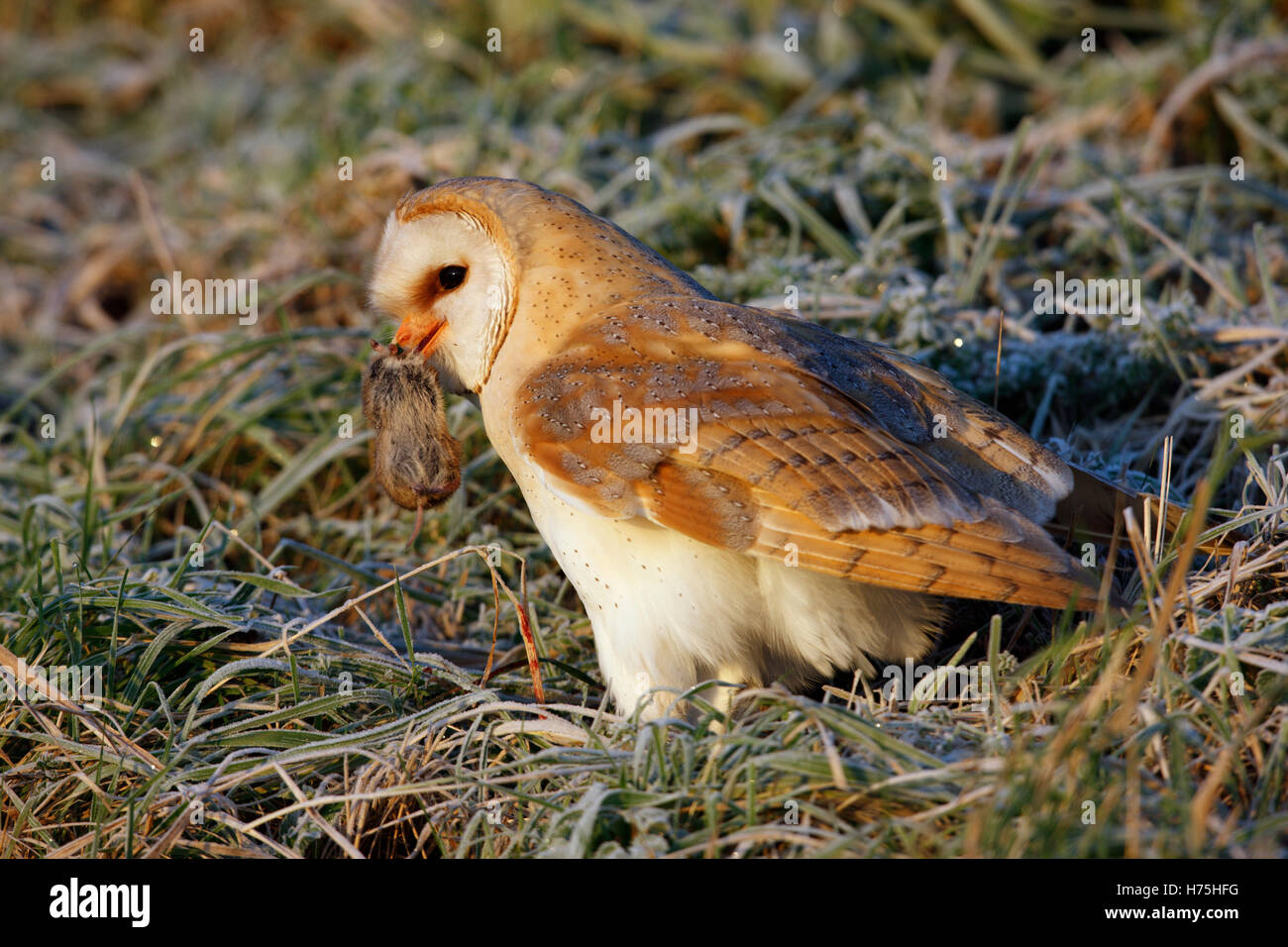 Wild Barn Owl Tyto alba on the ground with prey frost winter - Stock Image