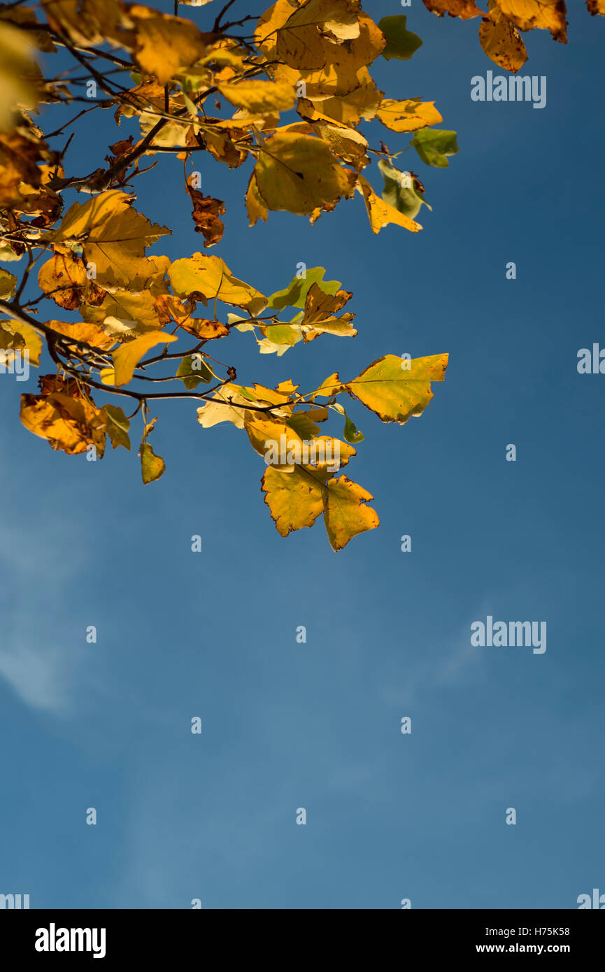 yellow autumn leaves against a blue sky - Stock Image