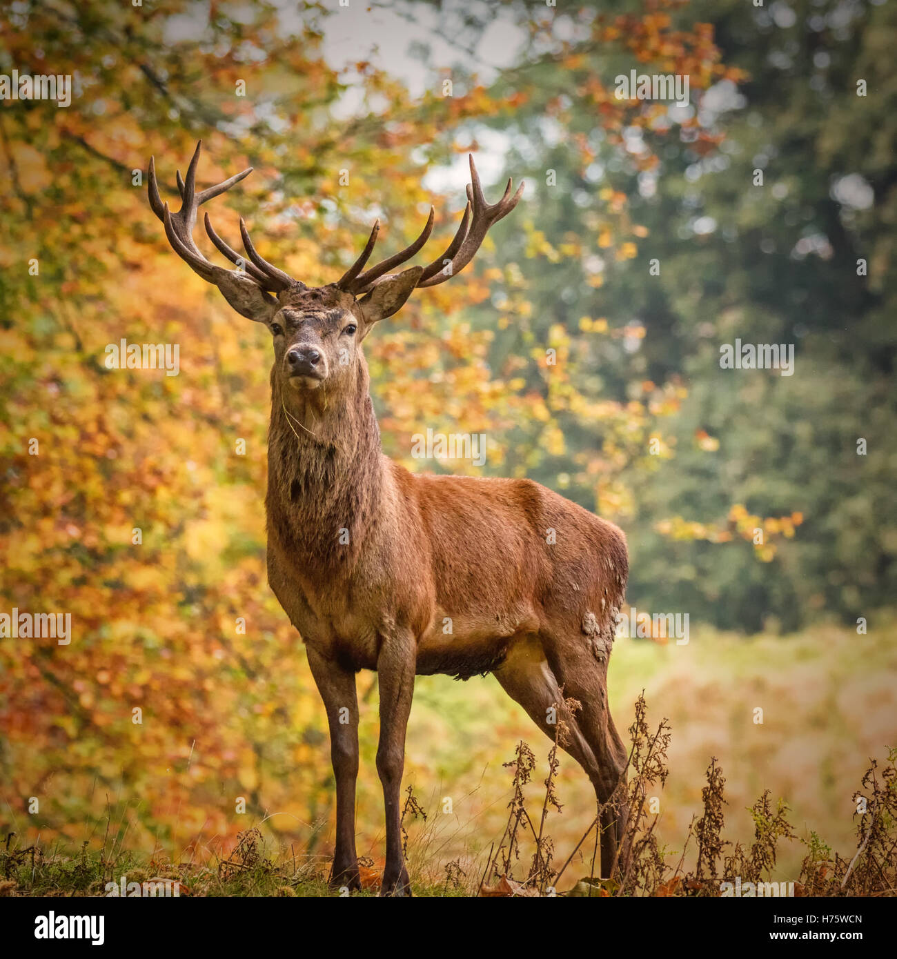 Red Deer Stag, Royal Studley Deer Park, Ripon Stock Photo