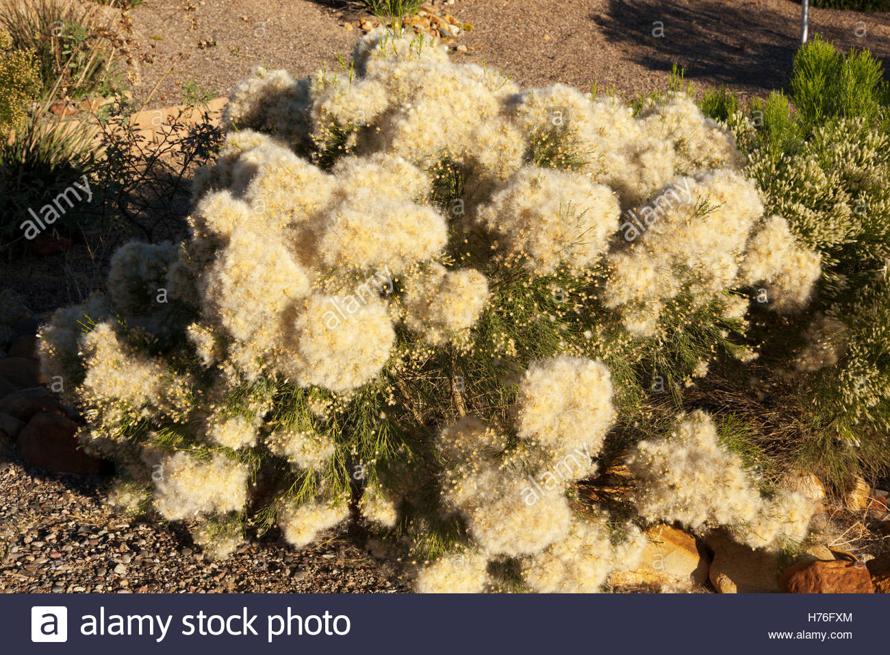 desert-broom-baccharis-sarothroides-male-arizona-H76FXM.jpg