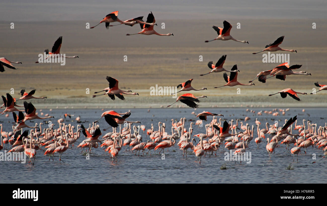 Flying chileflamingos, lake Tajsara, southern Bolivia South America Stock Photo