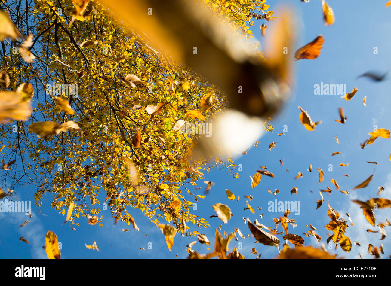 Falling autumn leaves against a blue sky - Stock Image