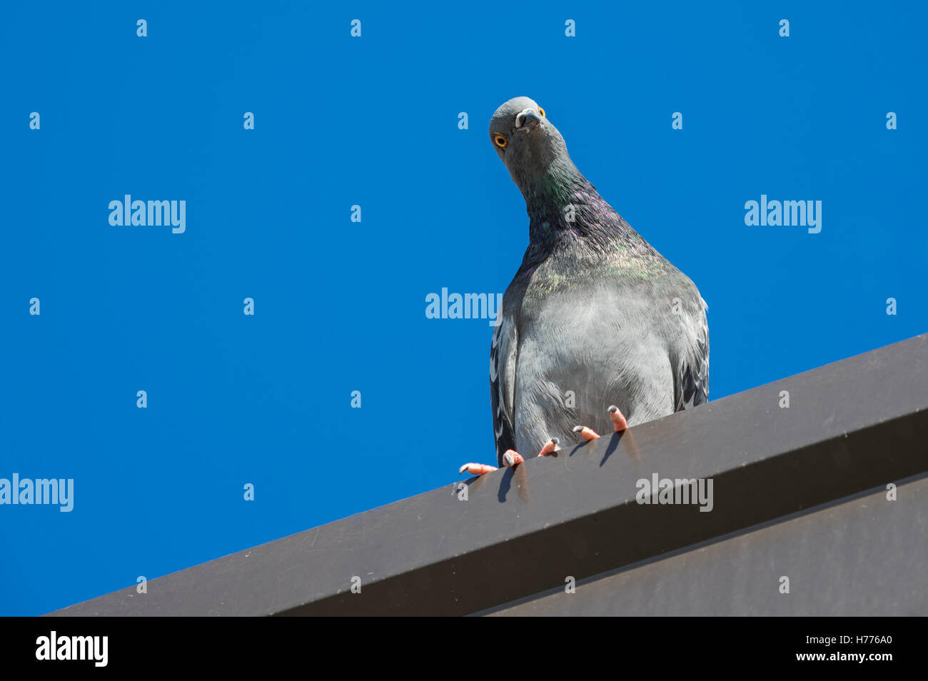 Street pigeon (Columba livia domestica) looking down with tilted head, perceived as curious or mischievous look. - Stock Image