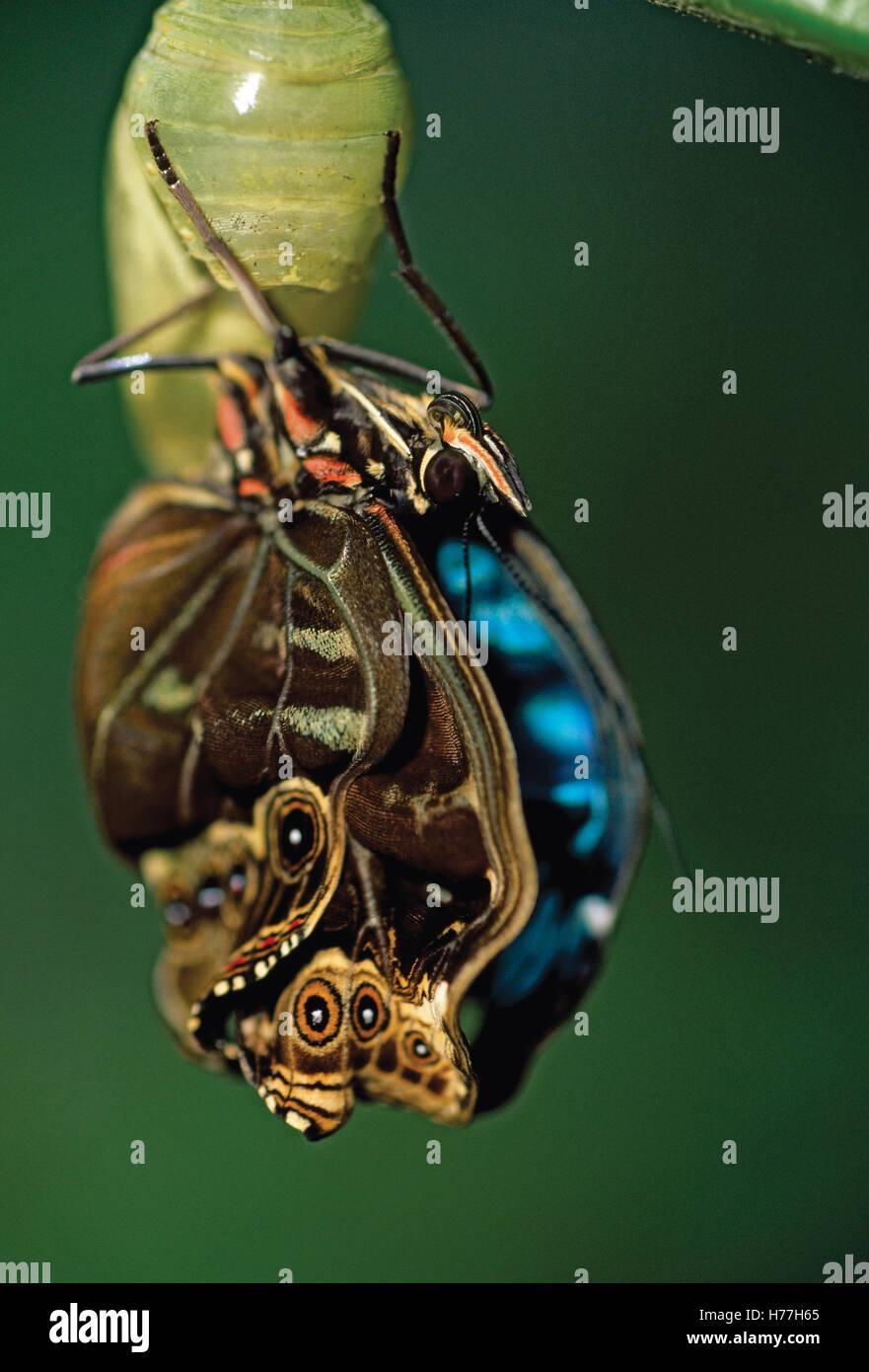 Blue Morpho butterfly (Morpho helenor) emerging from pupa. Costa Rica. - Stock Image