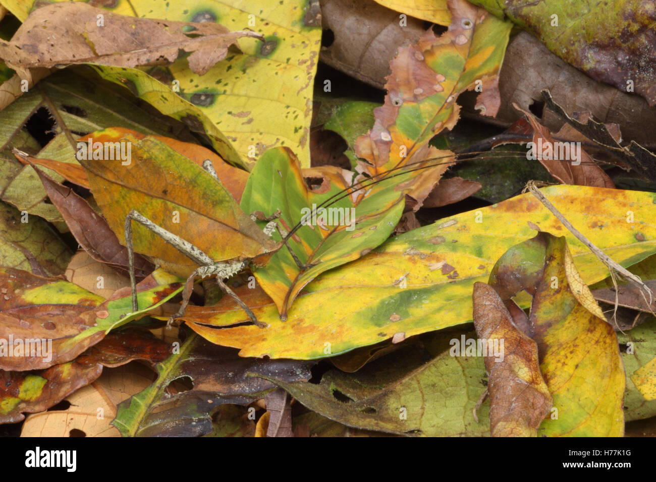 Leaf-mimic Katydid (Mimetica sp.) camouflaged in rainforest leaf litter, La Selva Biological Station, Costa Rica. - Stock Image