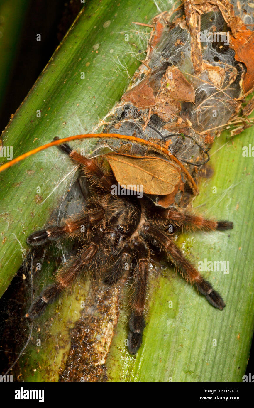 Costa Rican Orangemouth Tarantula (Psalmopoesu reduncus) sitting at entrance to funnel web on palm, La Selva, Costa - Stock Image