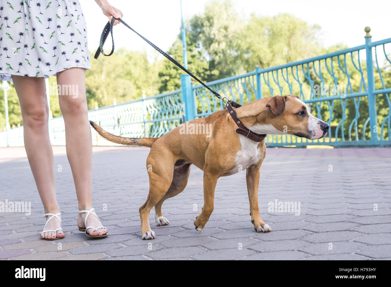 Naughty untrained dog pulling on a leash, person not controlling the dog - Stock Image