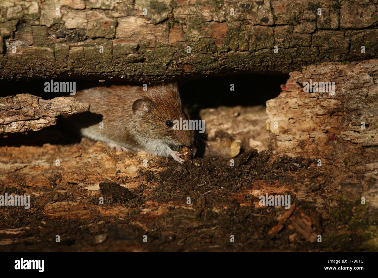 A wild Bank Vole (Myodes glareolus) eating in a wood pile. - Stock Image
