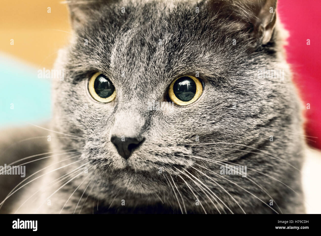 Closeup portrait of adult angry gray cat - Stock Image