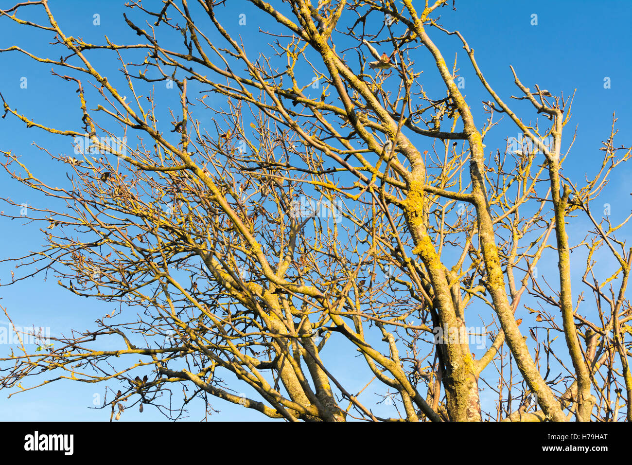 Tree branches bare of leaves at the start of Winter, against blue sky. - Stock Image