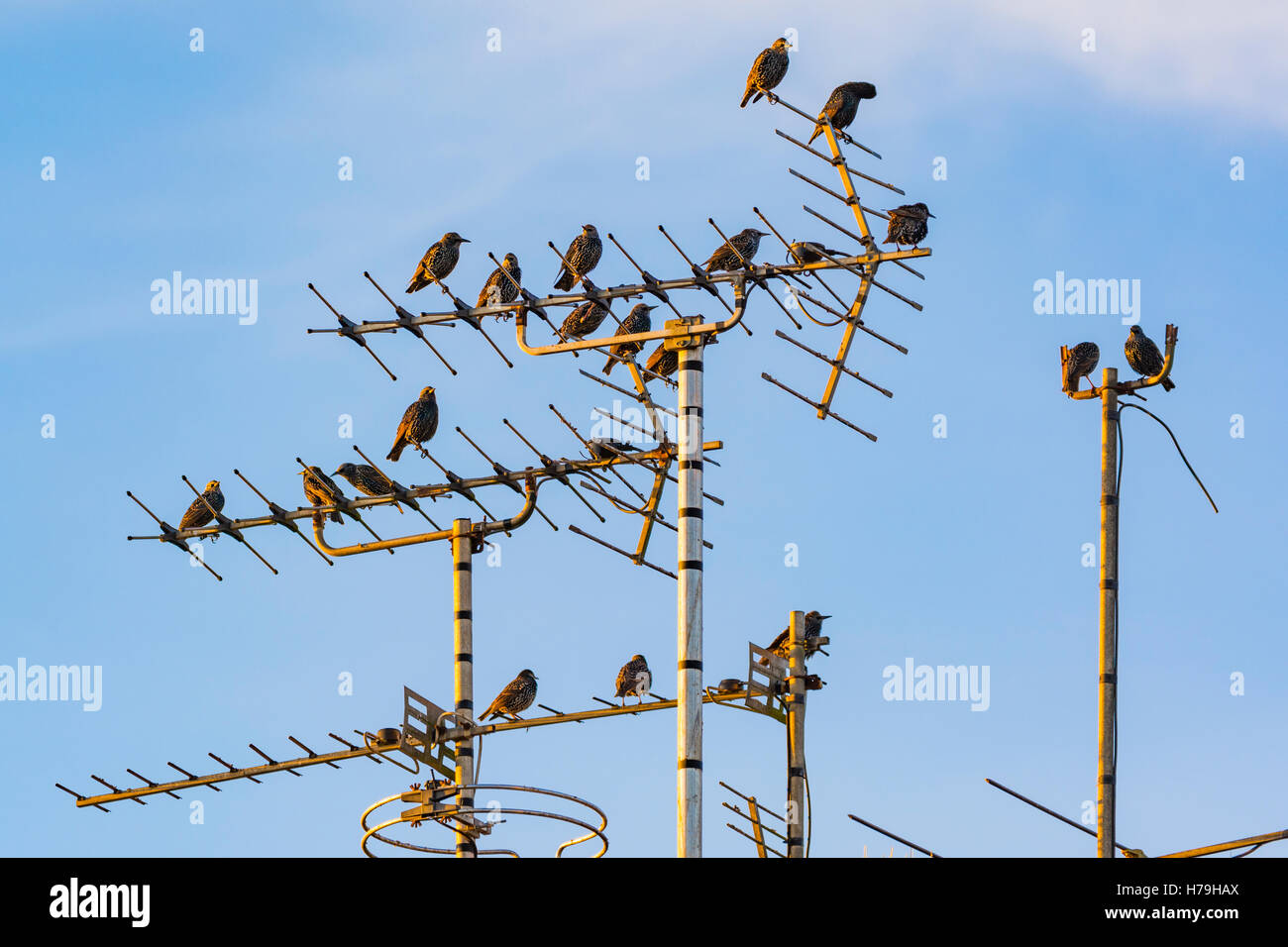 Starlings sitting on a TV aerial against a blue sky background in West Sussex, England, UK. - Stock Image