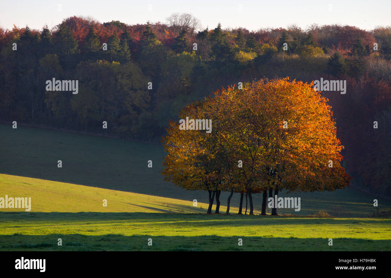 copse of Autumn trees in field, English Countryside - Stock Image
