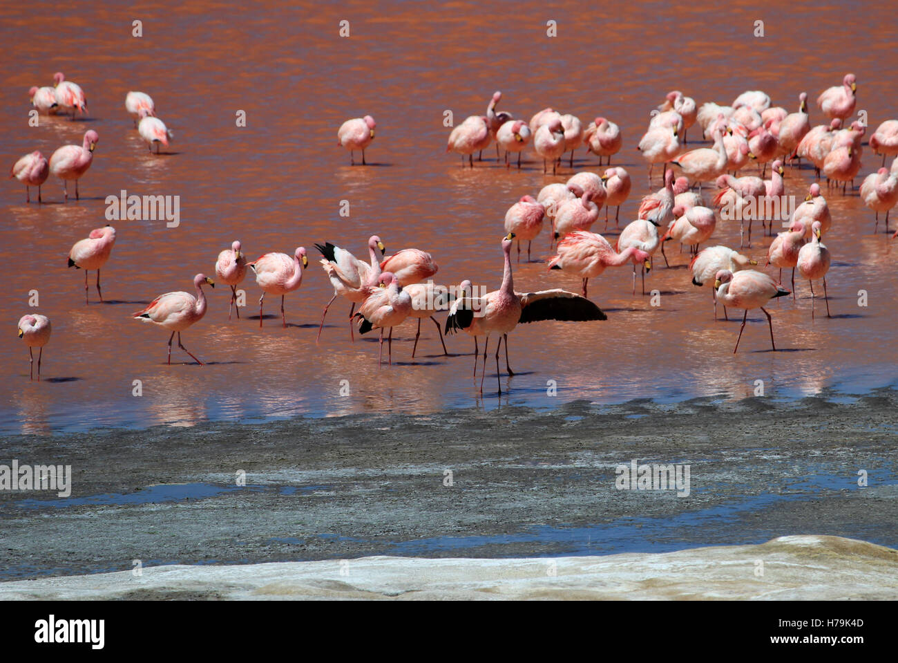 James flamingos, phoenicoparrus jamesi, also known as the puna flamingo, are populated in high altitudes of andean - Stock Image