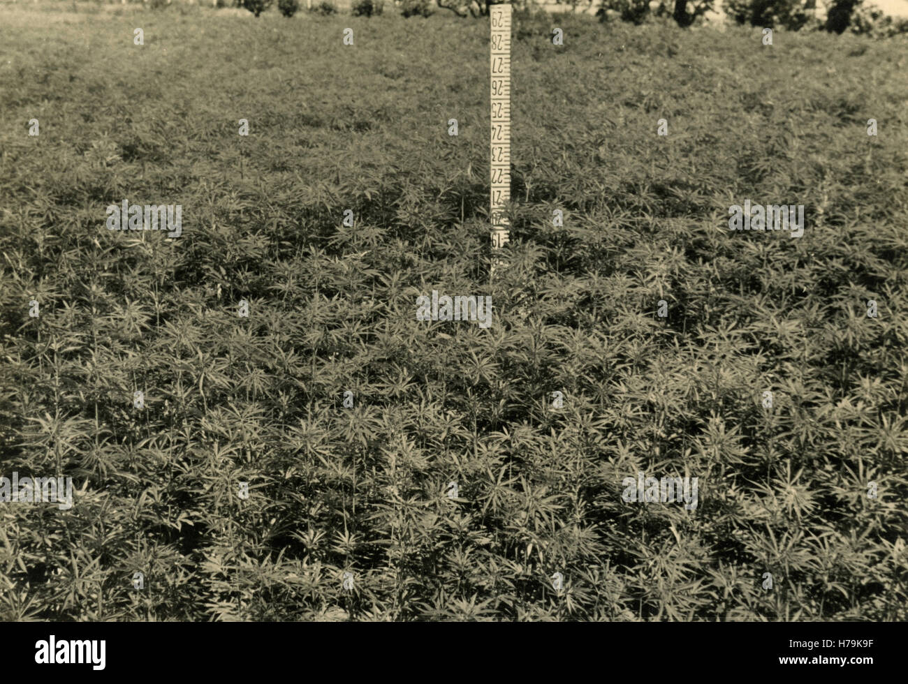 Industrial hemp cultivation, Italy - Stock Image