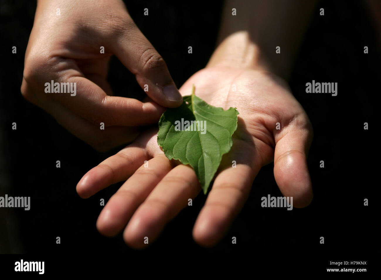 Hands holding leaf - Stock Image