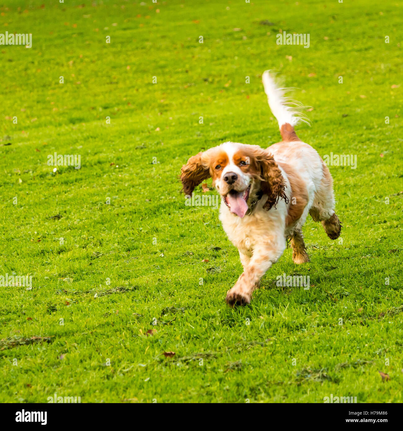 Friendly orange roan cocker spaniel pet dog playing in the park - Stock Image