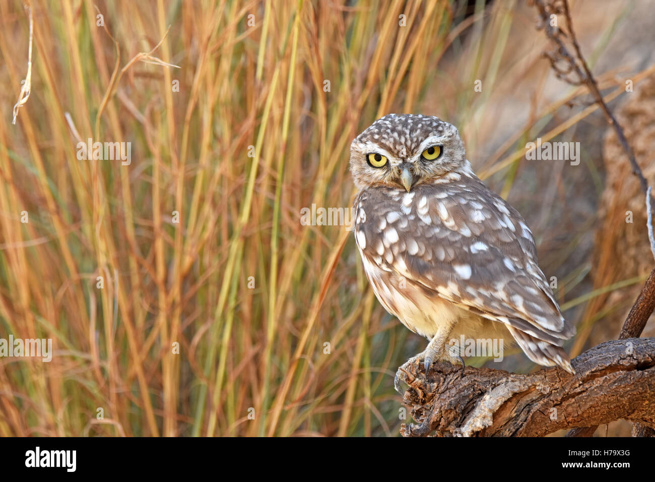 Little owl perching on rock - Stock Image
