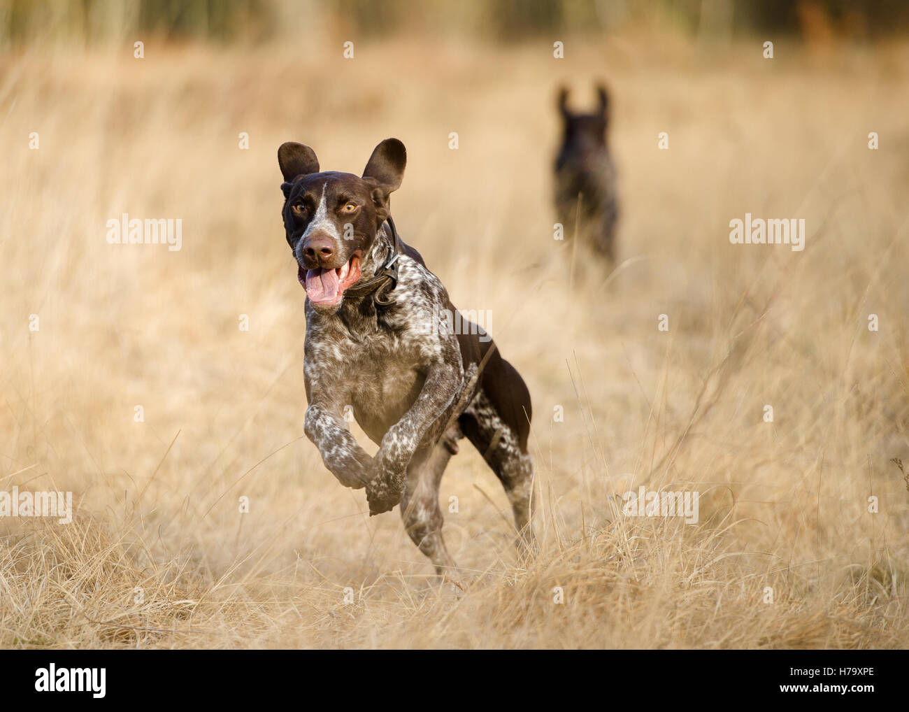 A German Shorthaired Pointer running on Wimbledon Common - Stock Image