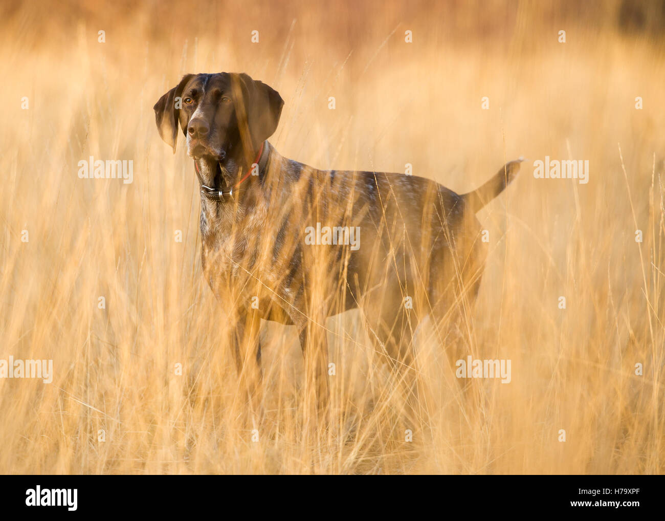 A German Shorthaired Pointer on Wimbledon Common - Stock Image