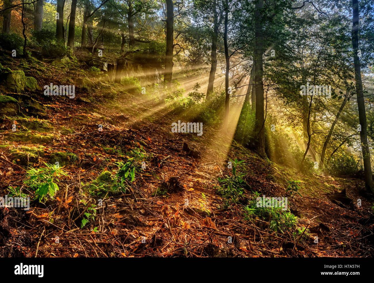 Sunbeams in Woodland - Stock Image