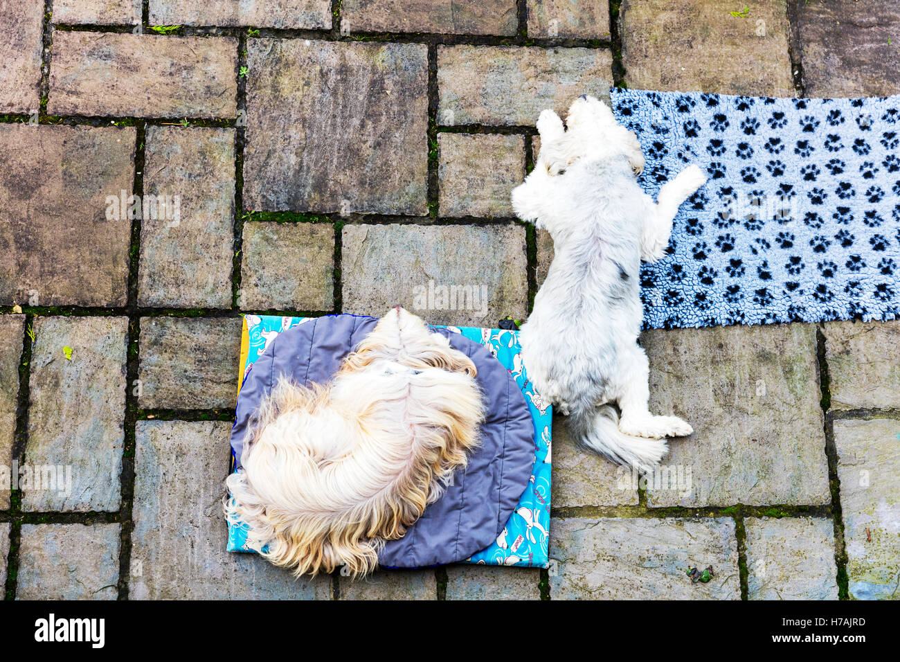 Dogs on patio from above dogs asleep laying down aerial view dogs on mats sleeping dogs lay laying down UK England - Stock Image