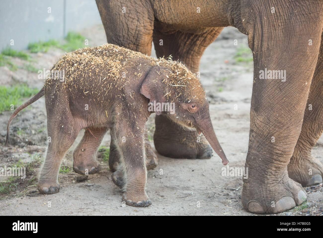 New South Wales, Australia.. 3rd Nov, 2016. Photo taken on Nov. 3, 2016, shows an Asian elephant calf in Australia's Stock Photo