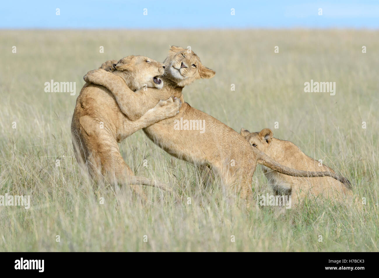 Young lions (Panthera leo) playing together, Maasai Mara national reserve, Kenya - Stock Image