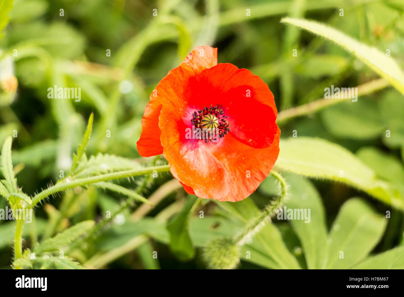 Red poppy - Stock Image