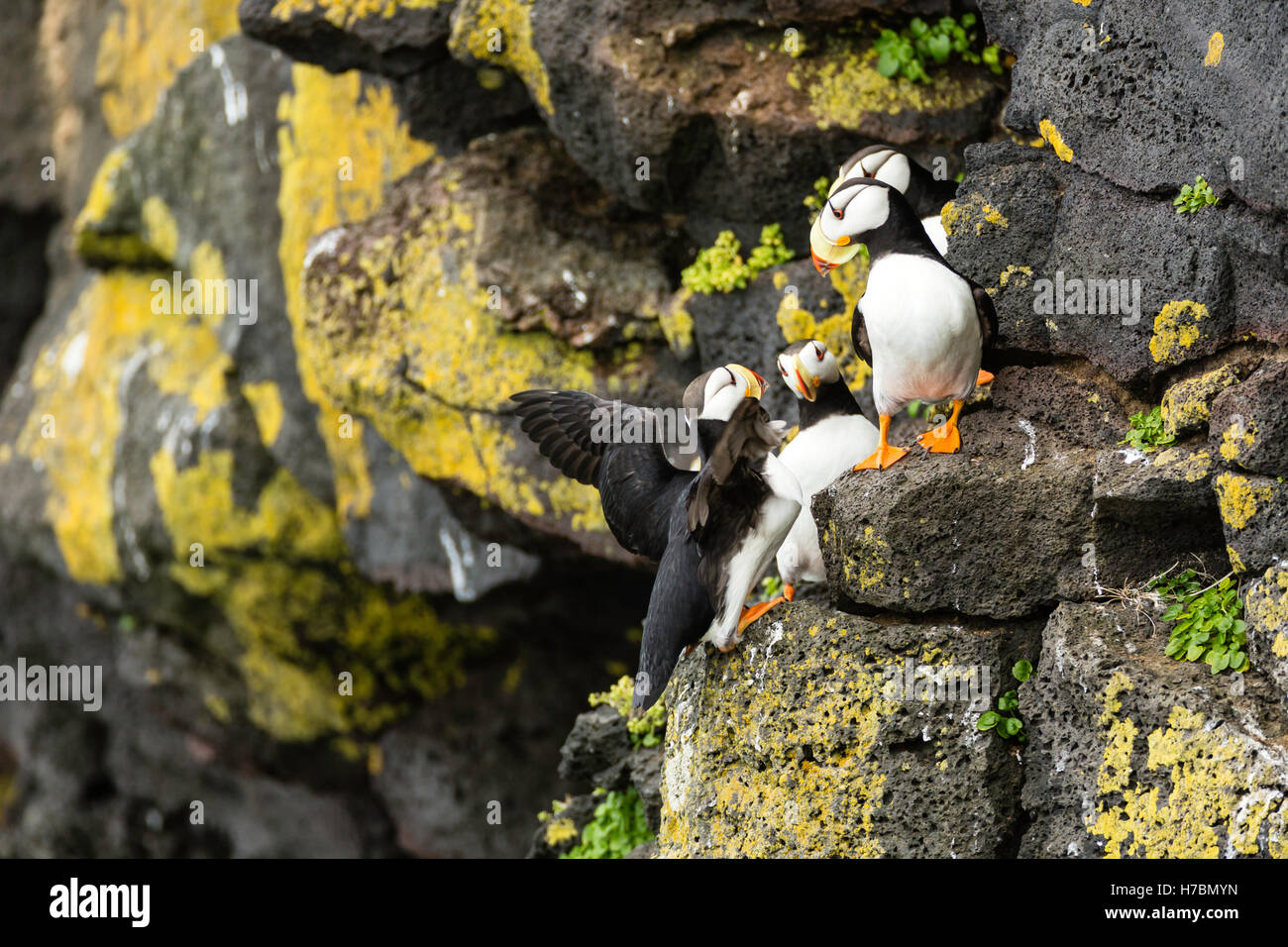 Horned Puffins Fratecula Corniculata Crowd On To The Cliffs St Paul Island