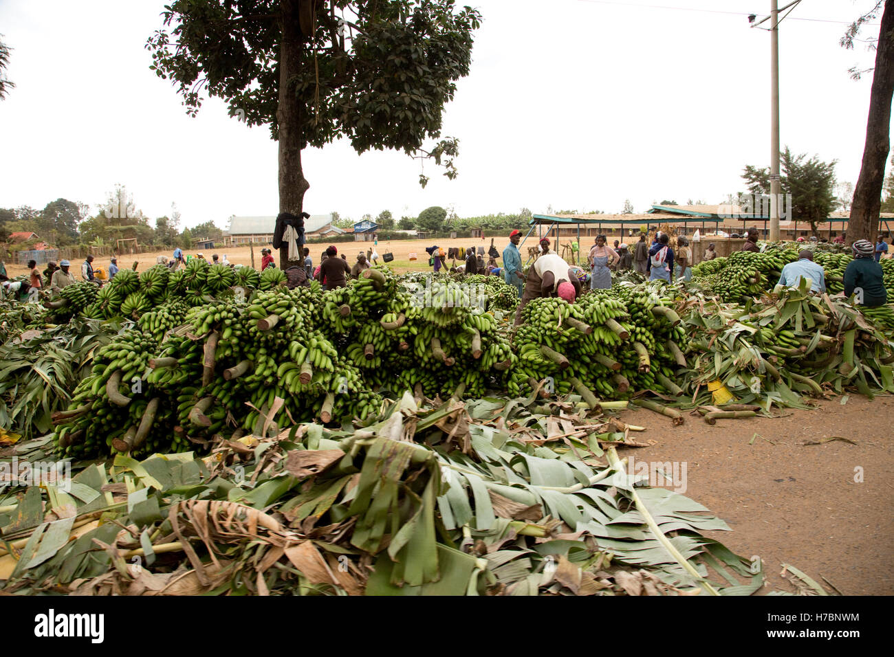 Huge bunches of bananas for sale at side of road near meru kenya stock image