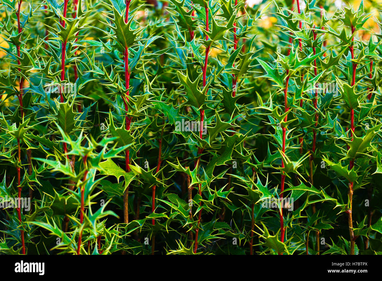 Mistletoe/Muerdago - Stock Image