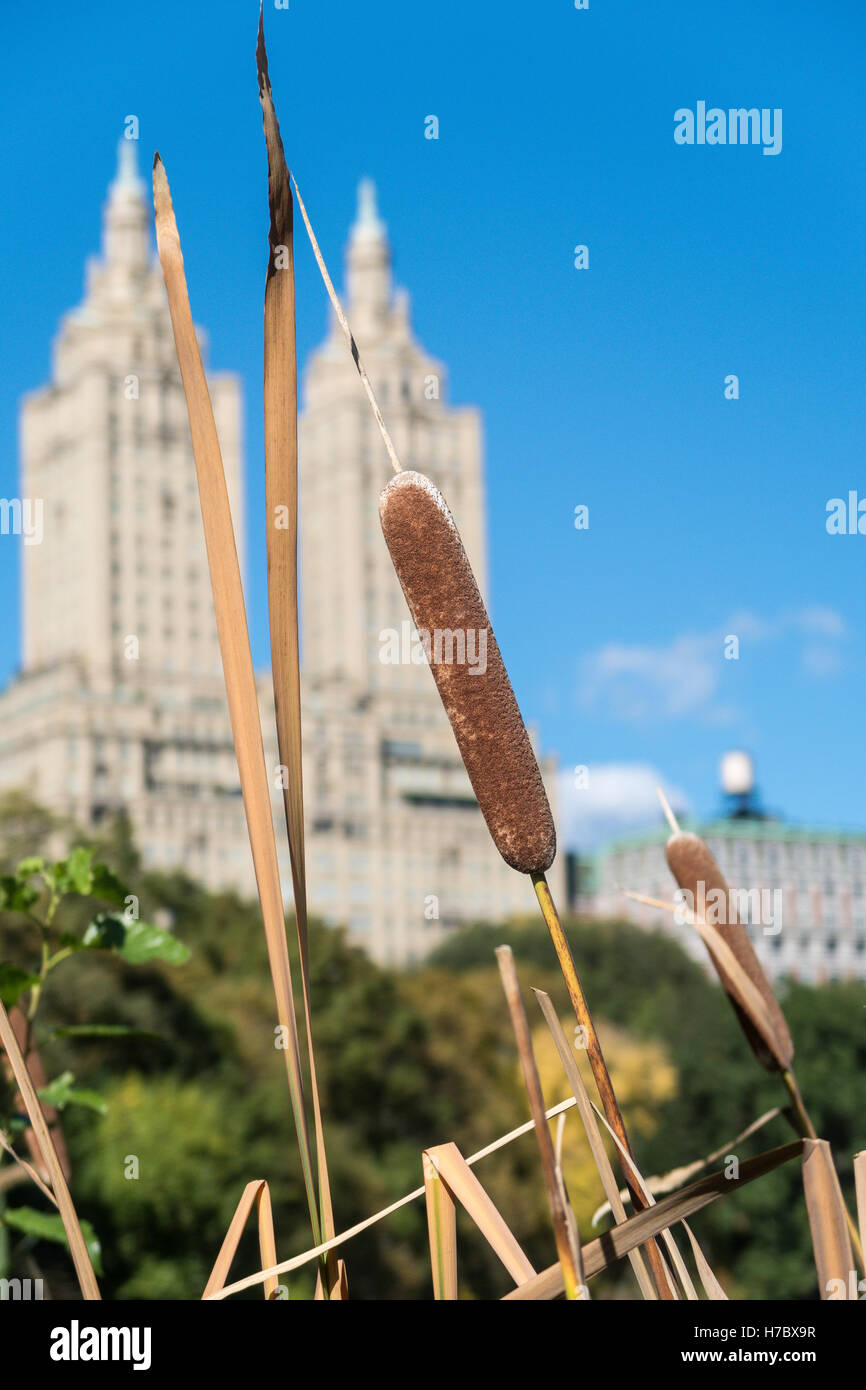 Cattails in Central Park with San Remo in Background, NYC - Stock Image