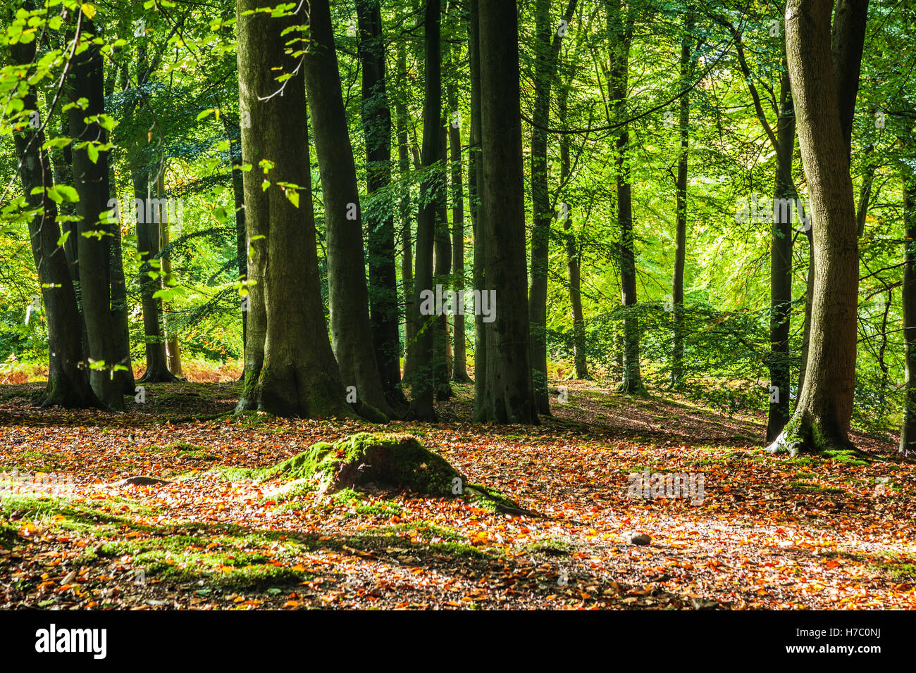 Dappled sunlight through early autumn trees in the Forest of Dean, Gloucestershire. - Stock Image