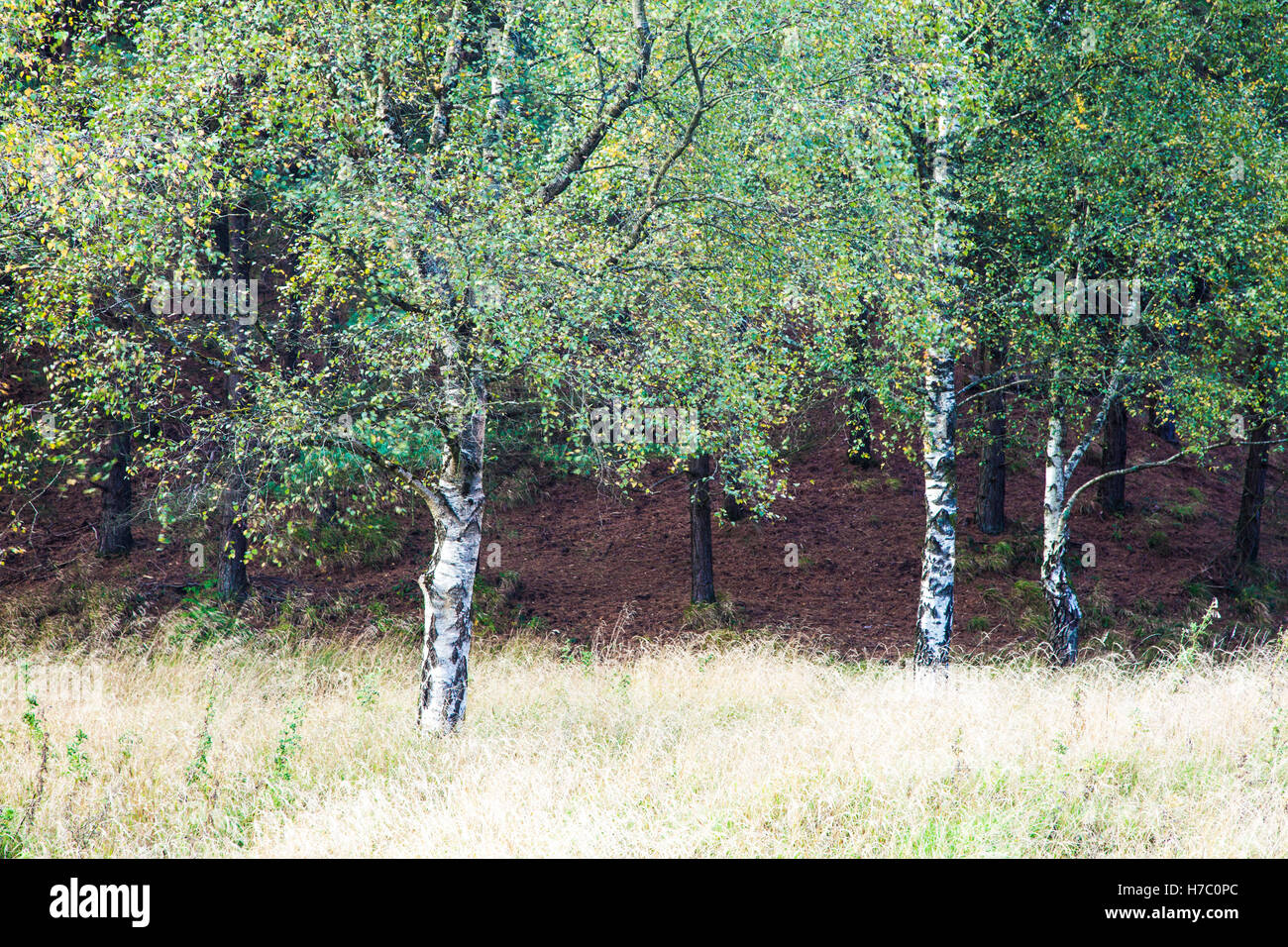 Autumnal silver birch trees, Betula pendula, in the Forest of Dean, Gloucestershire. - Stock Image