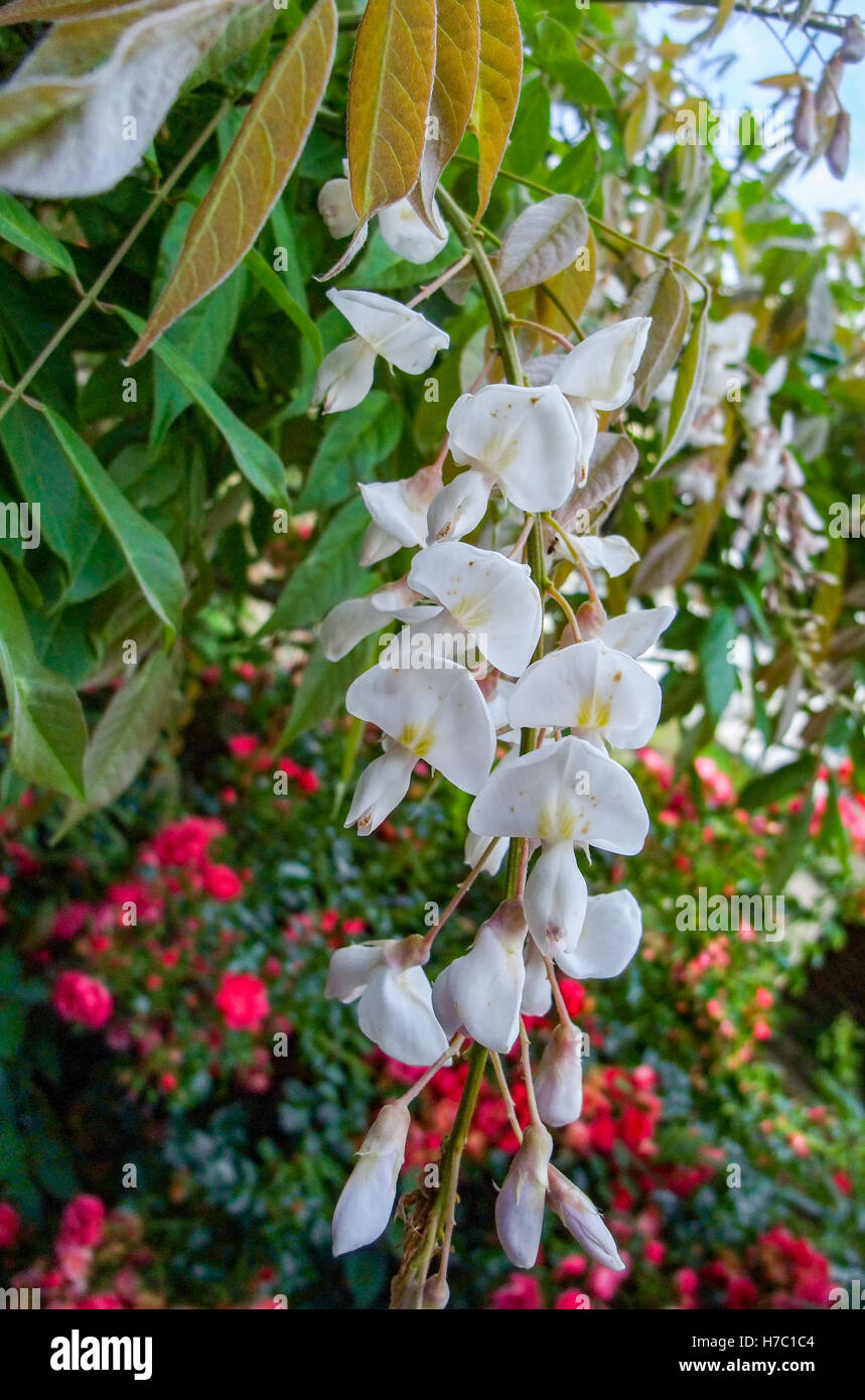 some hanging white blossoms in floral back Stock Photo