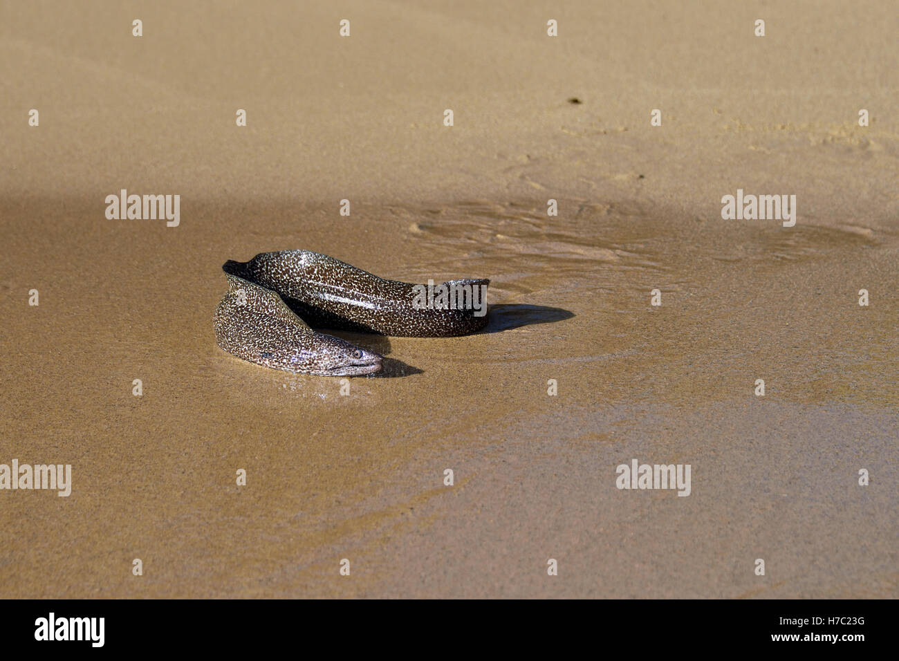 Spotted Moray Eel (Gymnothorax moringa) on the beach in Comfortless Cove on Ascension Island Stock Photo