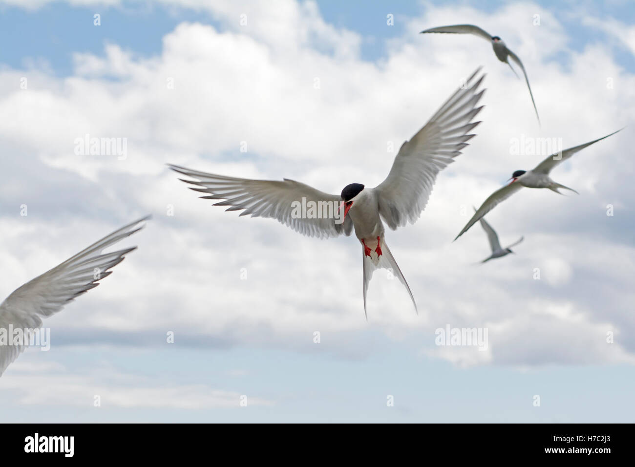 Arctic terns attacking while protecting their nests on the Isle of May, Scotland - Stock Image