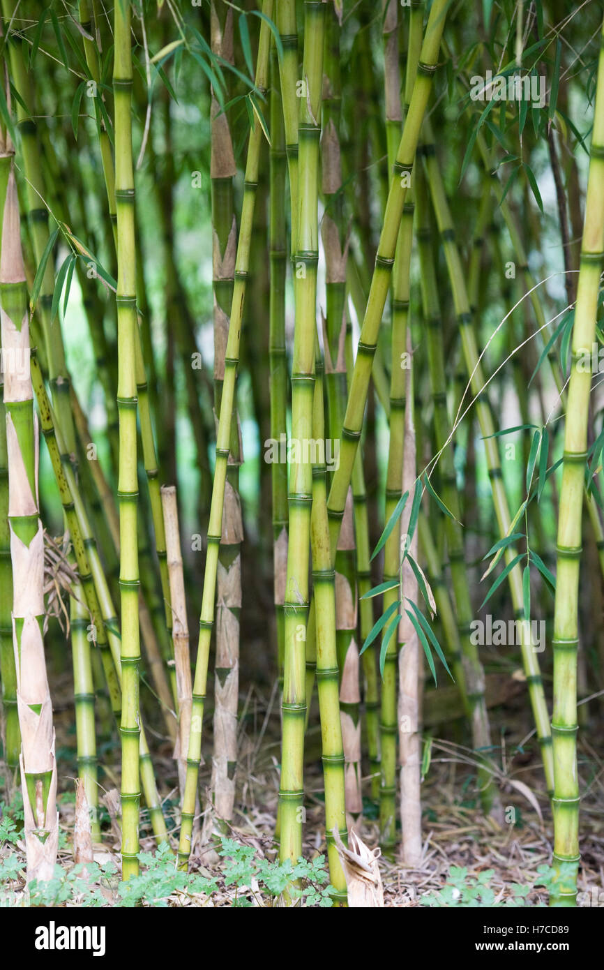 Bamboo stems in Autumn. - Stock Image