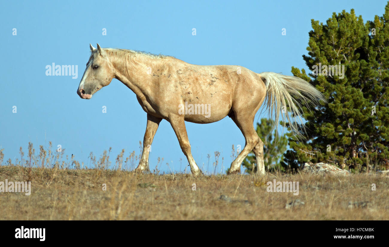 Palomino Wild Horse Band Stallion walking above Teacup Bowl in the ...