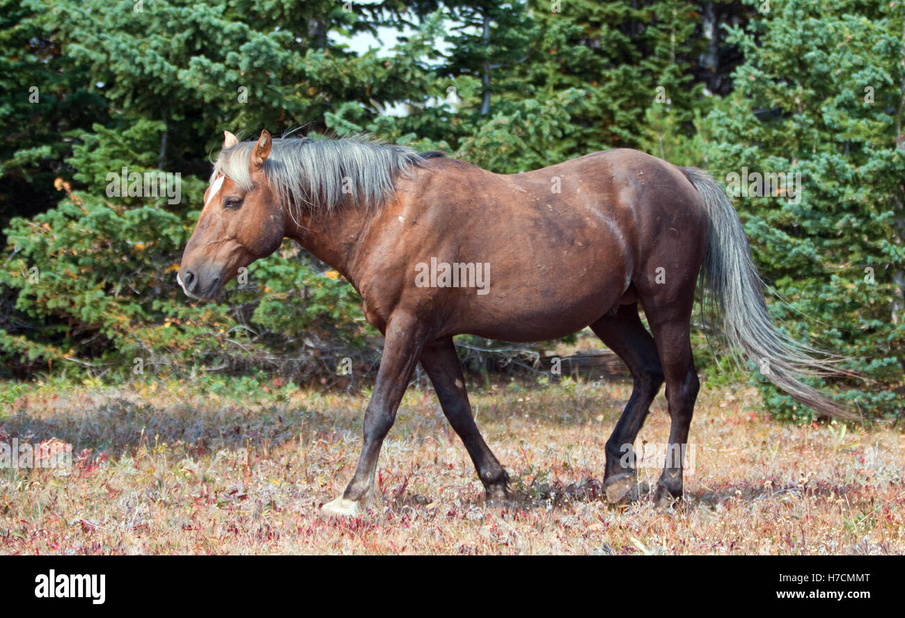 Wild Horse Sooty Colored Palomino Stallion Walking In The Pryor Stock Photo Alamy