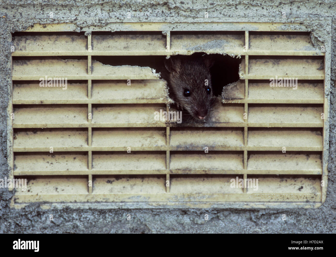 Brown Rat,(Rattus norvegicus), peers from inside a chewed air vent hole on a house, London, United Kingdom. - Stock Image