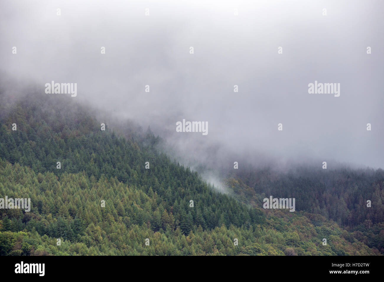 A misty coniferous forests, Britain, UK - Stock Image