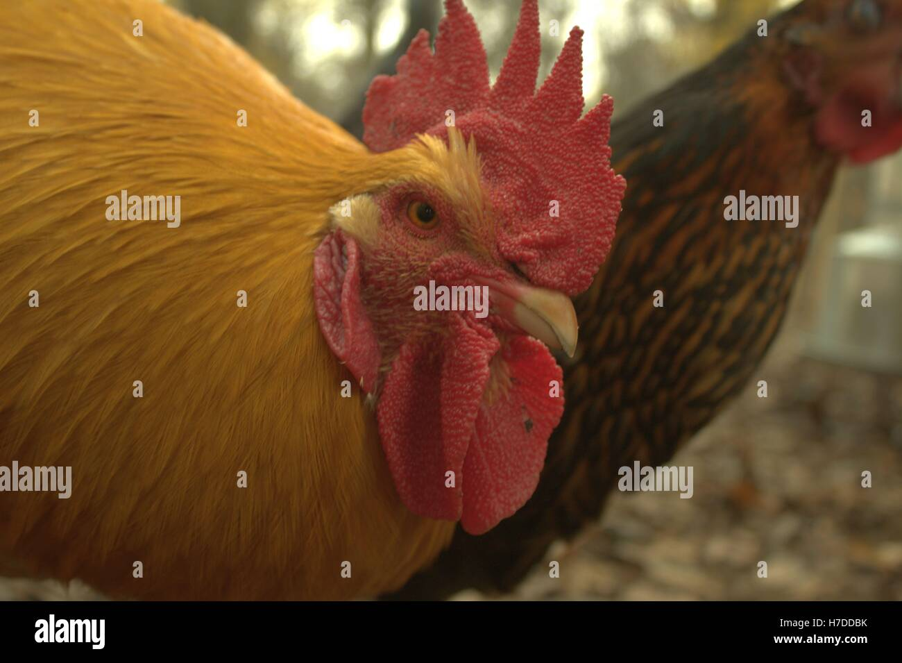 Close Up Of A Buff Orpington Rooster's Face - Stock Image