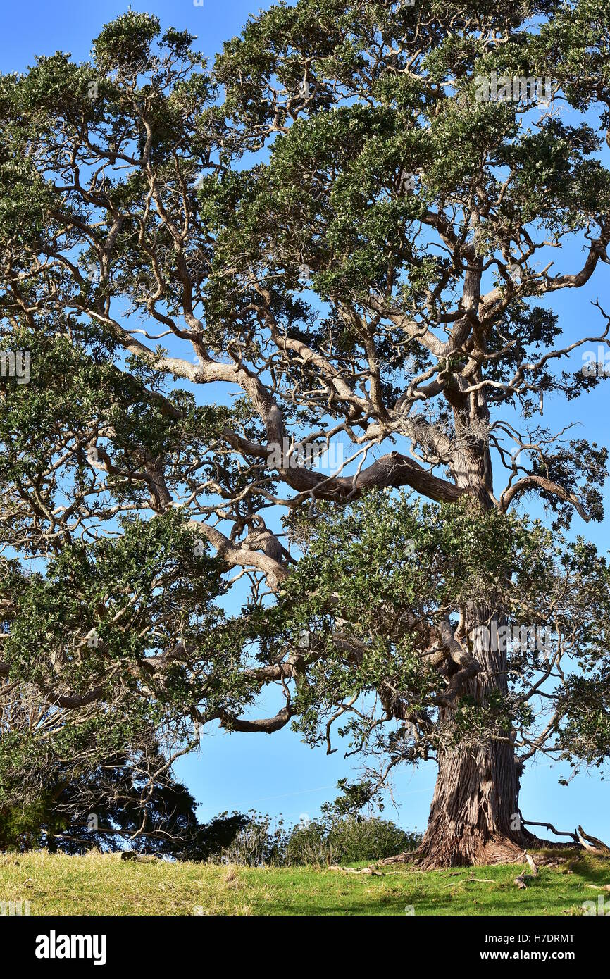 Tall tree with craggy branches and a blue sky behind it. - Stock Image