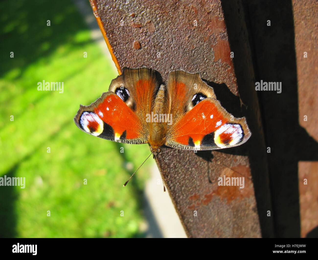 European Peacock butterfly rests in sunshine, Aglais io - Stock Image