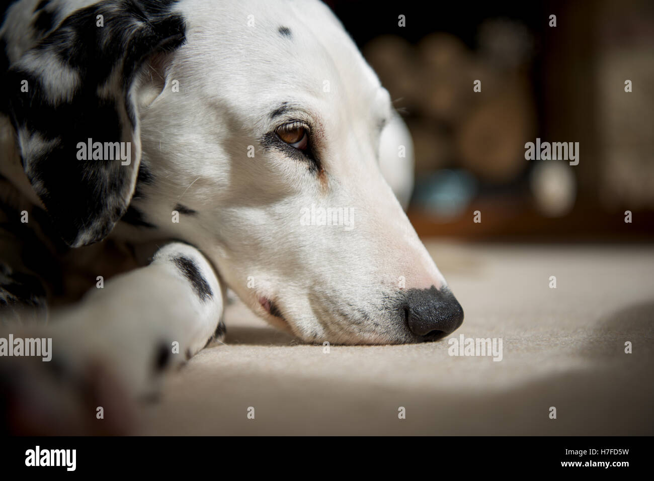 A  Dalmatian dog taking it easy on the living room carpet - Stock Image